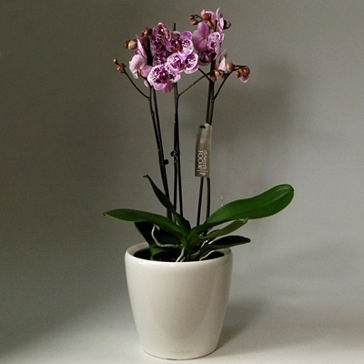 Send orchid arrangements to Istanbul