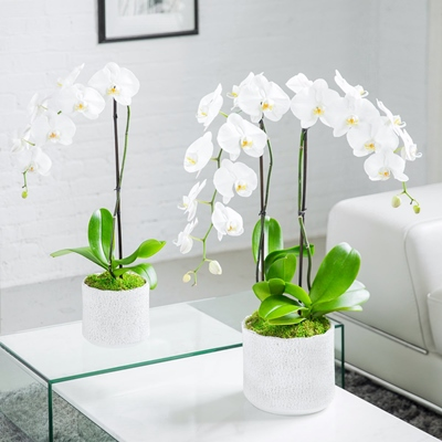 Orchid delivery in Istanbul