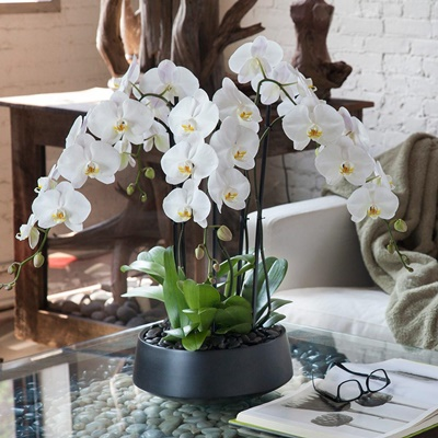 Orchid delivery in Istanbul Turkey