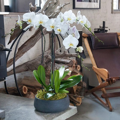 Orchids delivery to Istanbul Turkey