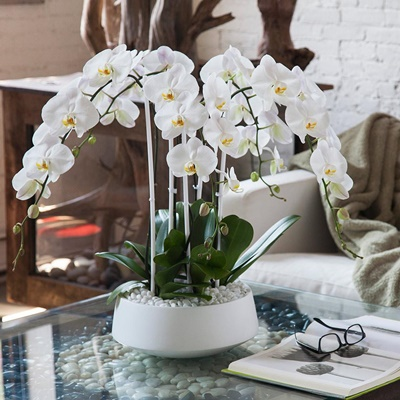 Orchids delivery in Istanbul