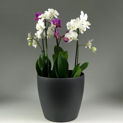 Orchid plant delivery in Istanbul